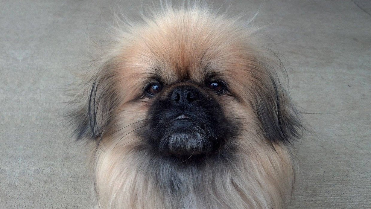 Seven very cute rescued Pekingese.